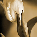 Sepia Tulip 2 by Peg Toliver