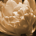 Sepia Tulip Frill by Peg Toliver