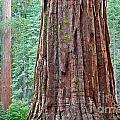 Sequoia Forest by Susan Cole Kelly
