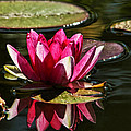 Serene Pink Water Lily Reflection by Tracie Kaska