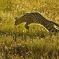 Serval Cat Pouncing Serengeti by Boyd Norton