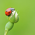Seven Spot Ladybird   At Bud Of Wild Rose Franconia, Bavaria, Germany by Martin Ruegner