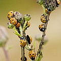 Seven-spot Ladybirds Eating Aphids by Bob Gibbons