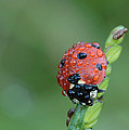 Seven-spotted Lady Beetle On Grass With Dew by Daniel Reed