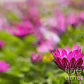 Shades Of Pink by Cheryl Butler