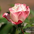 Shades Of Pink by Living Color Photography Lorraine Lynch