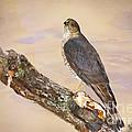 Sharp-shinned Hawk by Betty LaRue