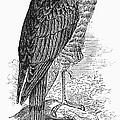 Sharp-shinned Hawk by Granger