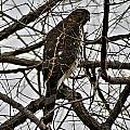 Sharp Shinned Hawk by Joe Faherty
