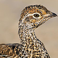 Sharp-tailed Grouse by Tony Beck