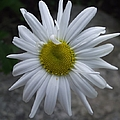Shasta Daisy by Michelle Welles