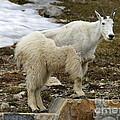 Shedding Mountain Goat by Carol Groenen