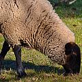Sheep 3 by Bill Owen
