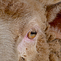 Sheep Close Up by Bill Owen