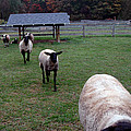 Sheep Feed Time by LeeAnn McLaneGoetz McLaneGoetzStudioLLCcom