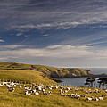Sheep Grazing In Headland by Colin Monteath