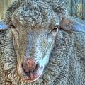 Sheep by Imagevixen Photography