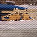 Sheep In A Snowy Field by T C Hoffman