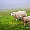 Sheep In Misty Meadow by Elena Elisseeva