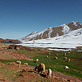 Sheep In The Atlas Mountains 02 by Miki De Goodaboom