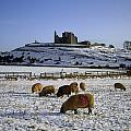 Sheep On A Snow Covered Landscape In by The Irish Image Collection