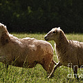Sheep On The Move by Lydia Holly