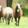 Sheep On The Run by Karol Livote