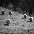 Sheep by Svetlana Sewell