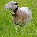 Sheep With A Bell by Mats Silvan
