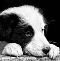 Sheepdog Puppy Looking Out by Rory Trappe