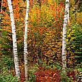 Shelburne Birches 2 by Nancy De Flon