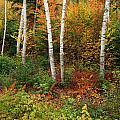 Shelburne Birches by Nancy De Flon