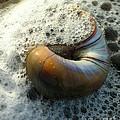 Shell In Sea Foam by Anne Ferguson