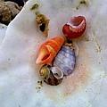 Shells In A Shell by Jeannine Davidoff