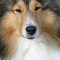 Sheltie by Living Color Photography Lorraine Lynch