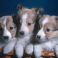 Sheltie Puppies by Photo Researchers, Inc.