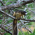 Shermans Fox Squirrel by Barbara Bowen