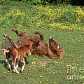 Shetland Pony And Foal Playing by Mark Taylor