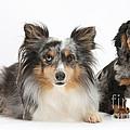 Shetland Sheepdog And Dachshund by Mark Taylor