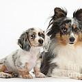 Shetland Sheepdog And Dachshund Puppy by Mark Taylor