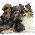 Shetland Sheepdog With Puppies by Mark Taylor