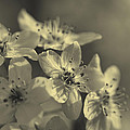 Shimmering Callery Pear Blossoms by Kathy Clark