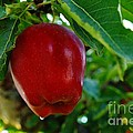 Shiny Red And Ripe  by Jeff Swan
