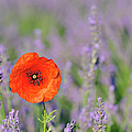Shirley Poppy In English Lavender Field, Valensole, Valensole Plateau, Alpes-de-haute-provence, Provence-alpes-cote D Azur, Provence, France by Martin Ruegner