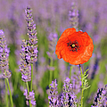 Shirley Poppy In English Lavender, Valensole, Valensole Plateau, Alpes-de-haute-provence, Provence-alpes-cote D Azur, Provence, France by Martin Ruegner