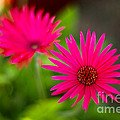 Shockingly Pink by Syed Aqueel