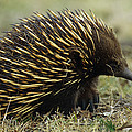 Short-beaked Echidna Tachyglossus by Cyril Ruoso