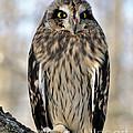 Short-eared Owl by Ronald Grogan