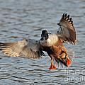 Shoveler Landing by Craig Leaper