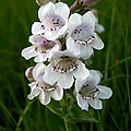 Showy Beardtongue Flower by Andrew Dyer Photography